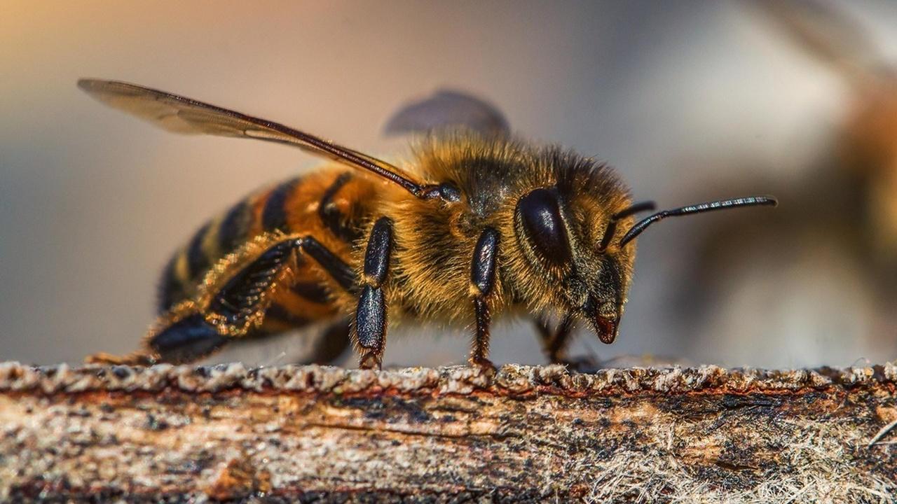 Пчёлы могут задействовать для счёта всего четыре нейрона