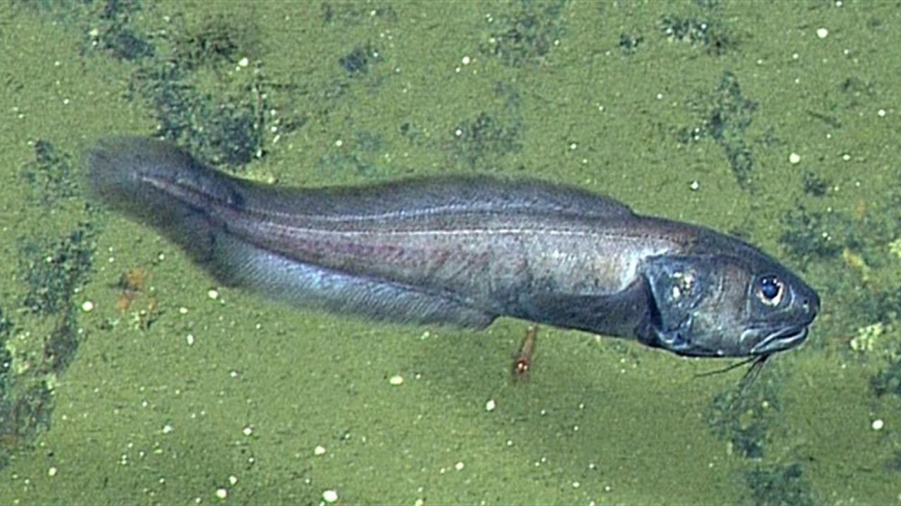 """Кислород не нужен: учёные описали рыб, процветающих в """"мёртвой зоне"""" океана"""