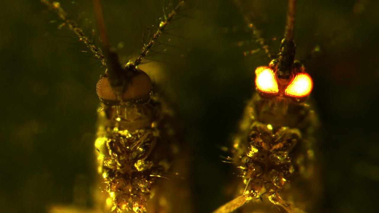 Красноглазые комары могут остановить распространение вируса Зика