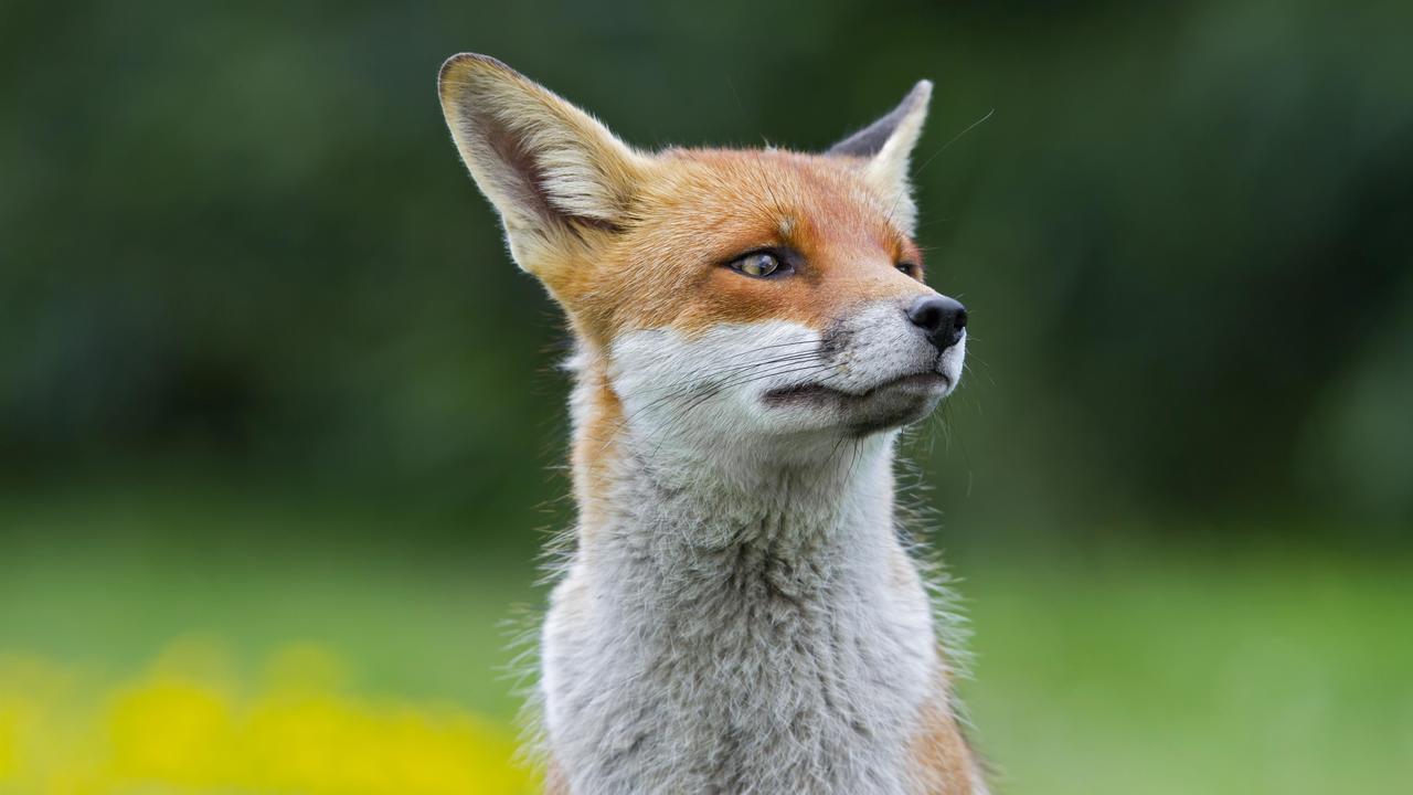 Зачем люди бронзового века одомашнили лис?
