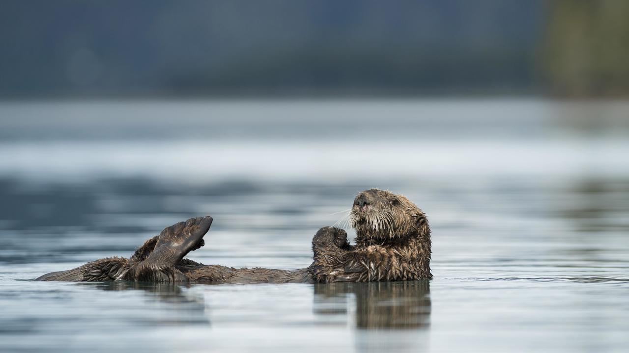 """""""Наковальни"""" морских выдр укажут на бывшие места их обитания"""