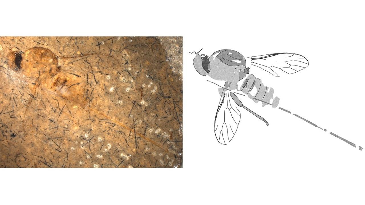 Растения юрского периода опыляла муха с рекордно длинным хоботком