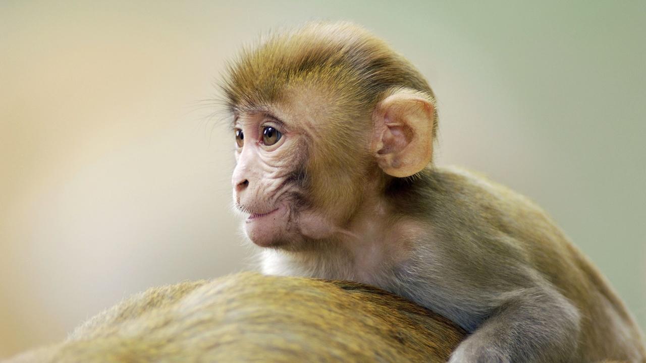 Безрассудно и рискованно? Китайские учёные создали ГМ-макак с человеческим геном развития мозга