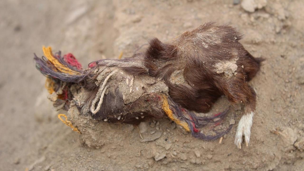 В Перу найдены останки жертвенных морских свинок в ярких украшениях