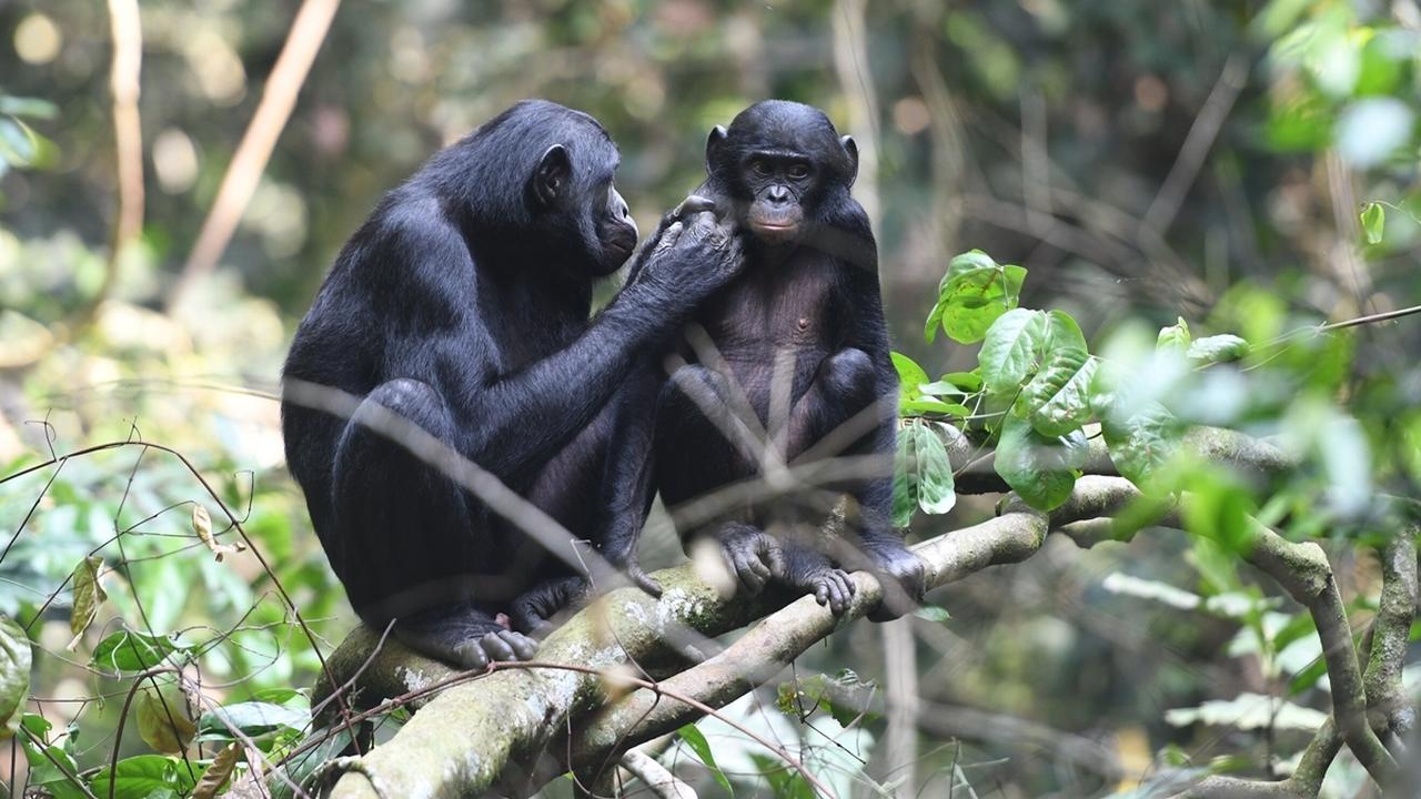 Мама может: самки бонобо становятся свахами и телохранителями своих сыновей