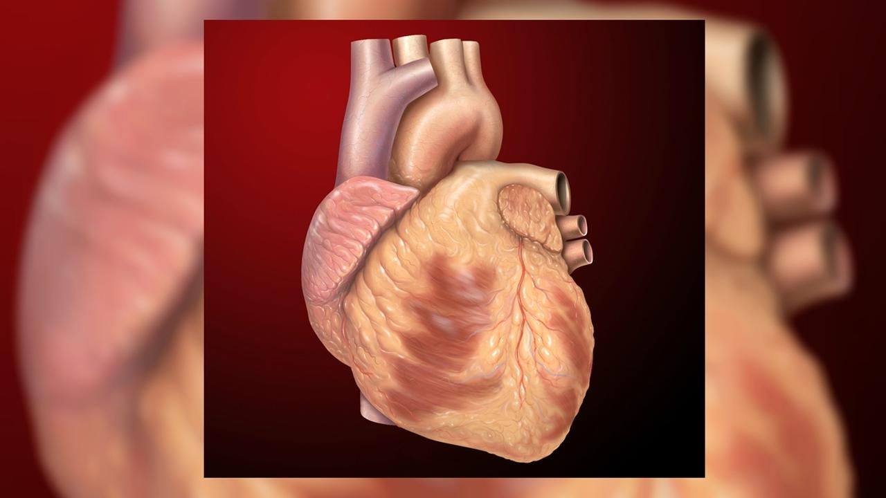Обнаружена разновидность стволовых клеток, восстанавливающих сердце после инфаркта