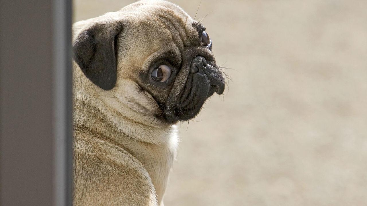 Секрет щенячьих глаз: собаки научились влюблять в себя людей в ходе эволюции