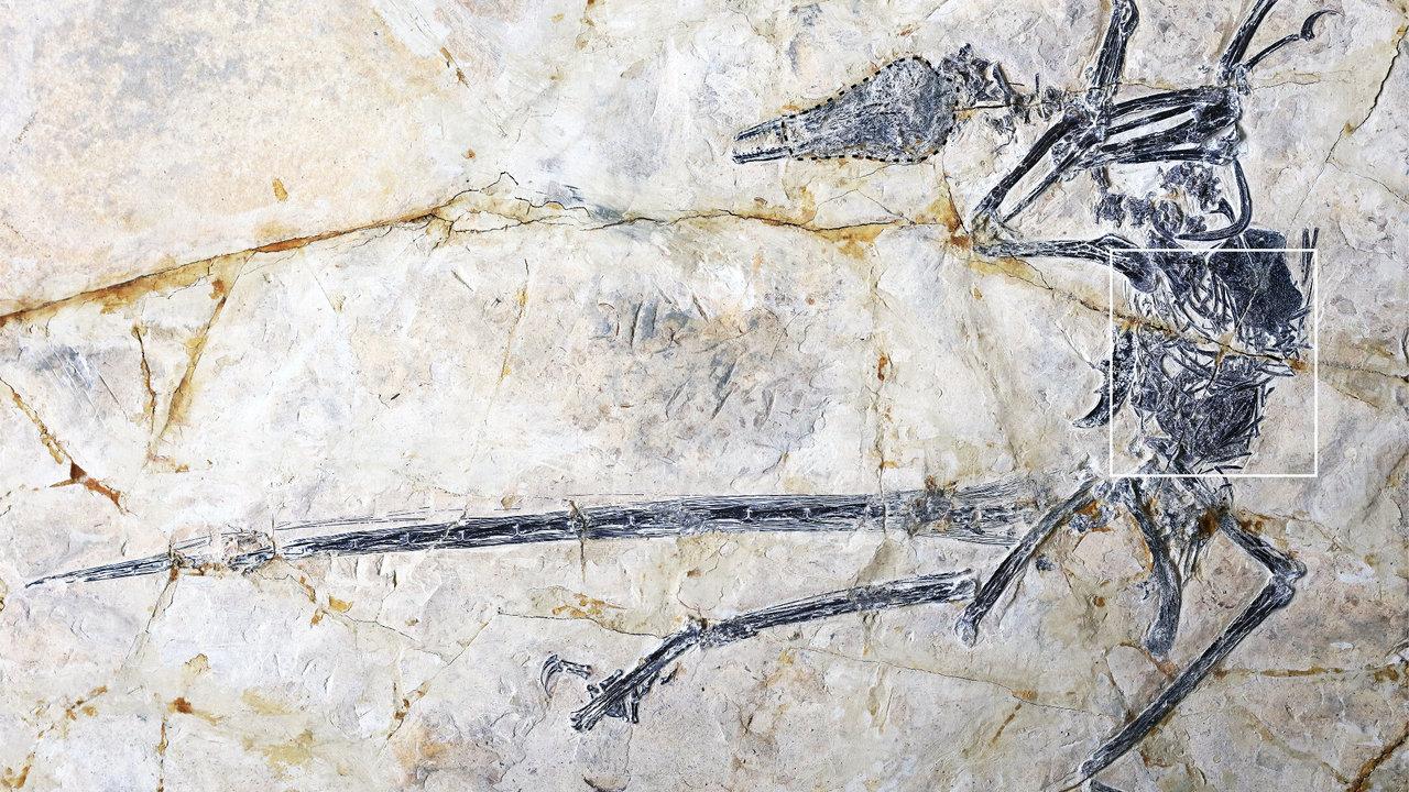Предсмертная трапеза: в желудке древнего микрораптора обнаружены останки ящерицы неизвестного вида