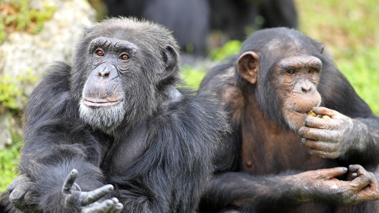 Совместный просмотр фильмов сближает шимпанзе