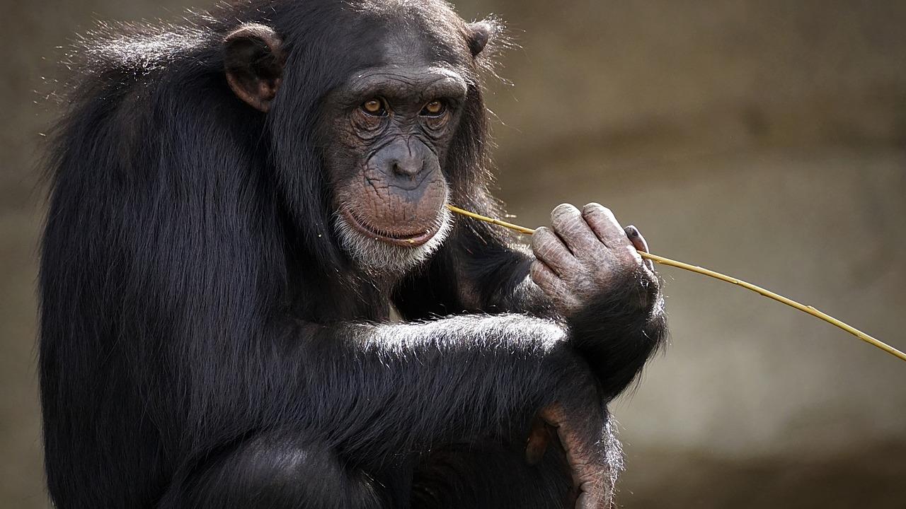 Дети и обезьяны используют для общения одни и те же жесты