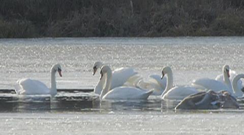 Страна птиц. Псковские лебеди