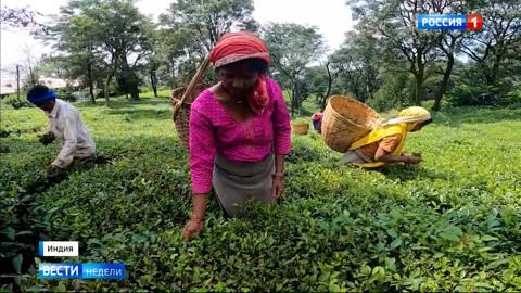 Из-за пандемии чайные плантации Индии опустели