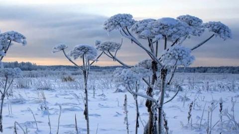 Погода 24. Борщевик могли привезти на Ямал из Москвы