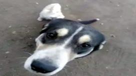 Собак натаскивают на коронавирус!