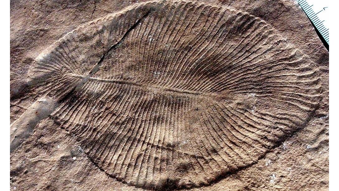 Эдиакарцы стали одними из первых многоклеточных животных Земли.