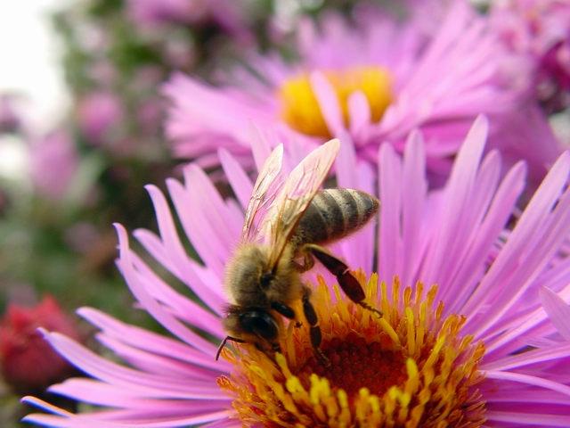 Неоникотиноидные химические вещества также вредят пчёлам