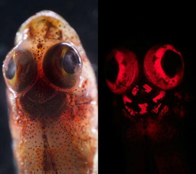На фотографии голова морской собачки (Enneapterygius atriceps) при дневном (слева) и синем (справа) свете