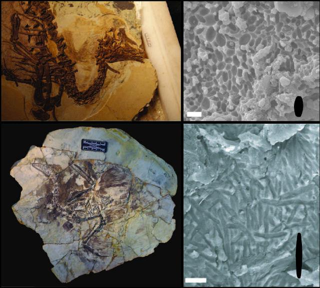 Два вымерших вида юрского и мелового периодов, окаменелости которых найдены в Китае