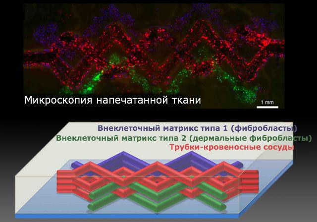 Микроскопия напечатанной на 3D-принтере ткани