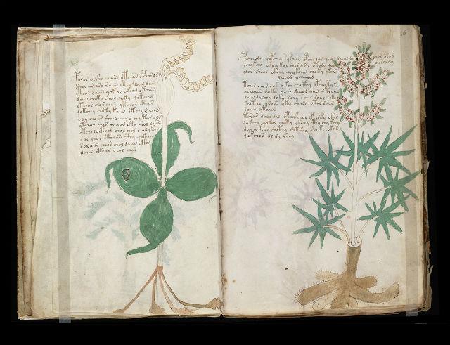 Признанный рисунок можжевельника из рукописи Войнича