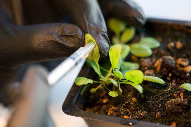 Для модификации целого растения использовался метод так называемого васкулярного вливания