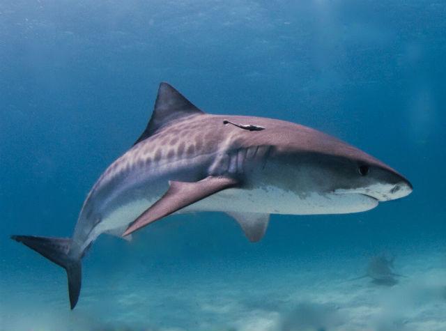 Кожа акулы чешуйчатая, а вовсе не гладкая