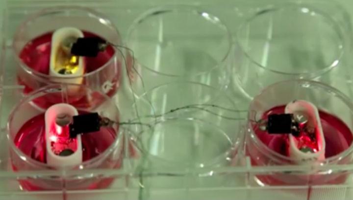 В миниатюрных биореакторах выращивались настоящие прочные хрящи