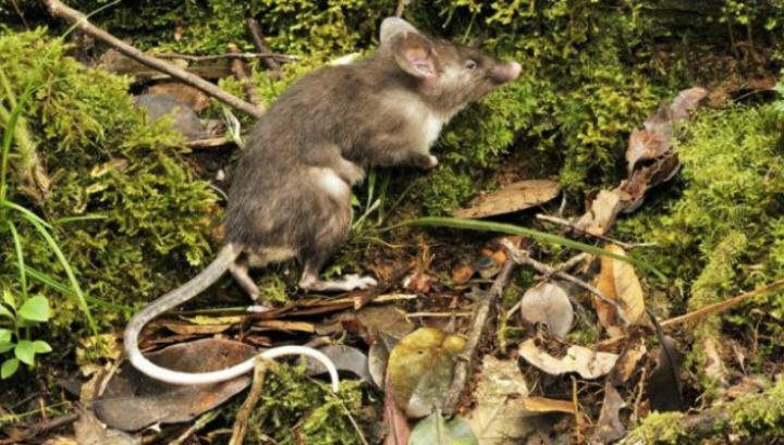 Животное получило видовое название Hyorhinomys stuempkei