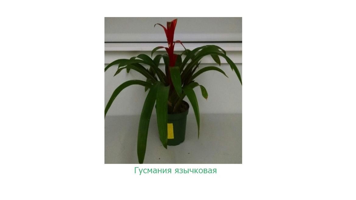 Бромелиевые растения хорошо удаляют из воздуха разнообразные летучие органические соединения.