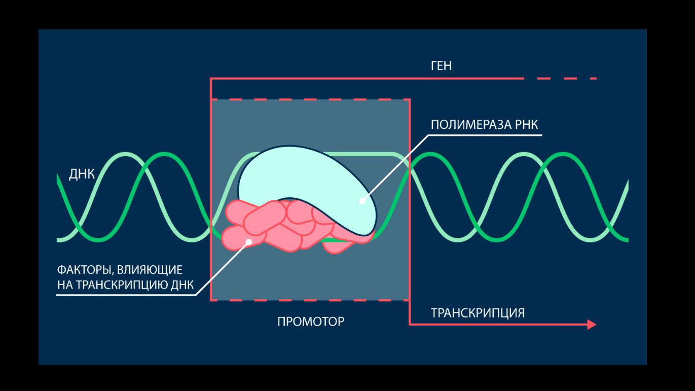 РНК-полимераза синтезирует РНК на основе последовательности ДНК. Промотор ≈ это участок ДНК, который служит для РНК-полимеразы стартовой площадкой для начала транскрипции. Для правильной инициации транскрипции должен собраться белковый комплекс.