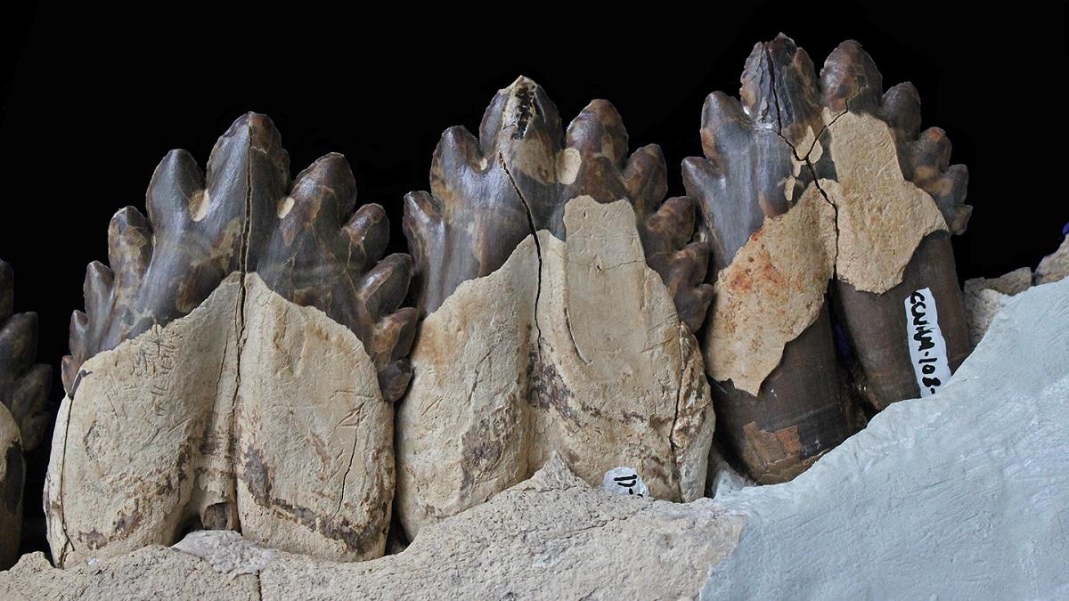 Зубы ископаемого кита Coronodon havensteini.