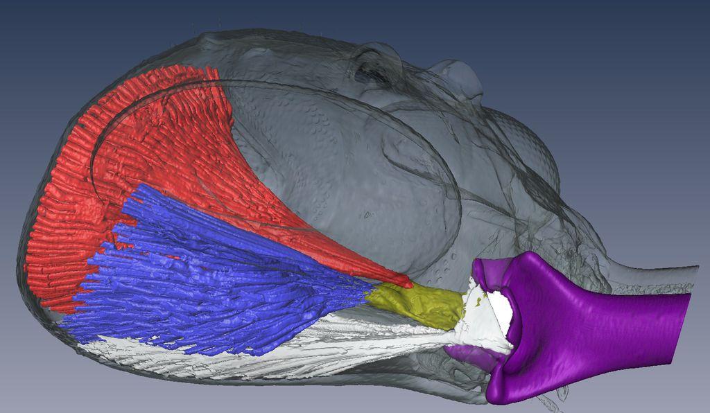 Синим, красным и белым цветом выделены мышцы, которые управляют нижней челюстью (она отмечена фиолетовым).