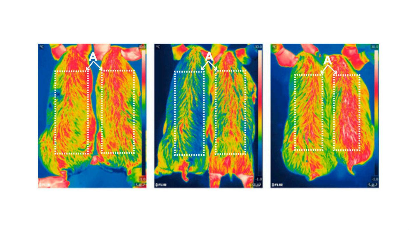 Инфракрасные снимки 6-месячных поросят, сделанные через 0, 2 и 4 часа воздействия холода. ГМ-животные находятся на правой стороне. Видно, что терморегуляция свиней улучшилась.