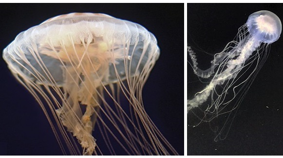 """Сравнение медуз-близнецов: слева """"морская крапива"""" (Chrysaora quinquecirrha), а справа """"хризаора чесопикская"""" (Chrysaora chesapeakei)."""