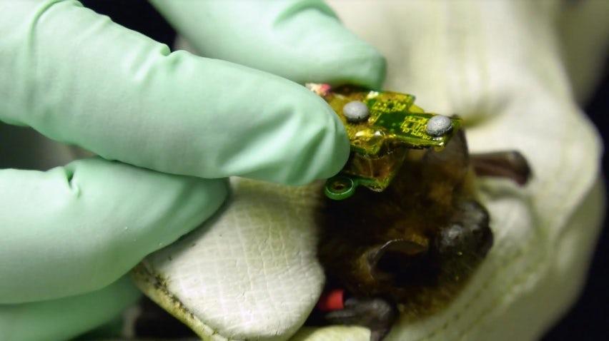 Устройство получилось миниатюрным и лёгким, чтобы летучая мышь могла спокойно летать с ним.