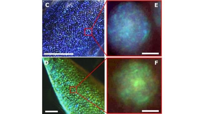 Наносферы, которые собираются в упорядоченные светоотражающие структуры, представляют собой крошечные капельки липидов.