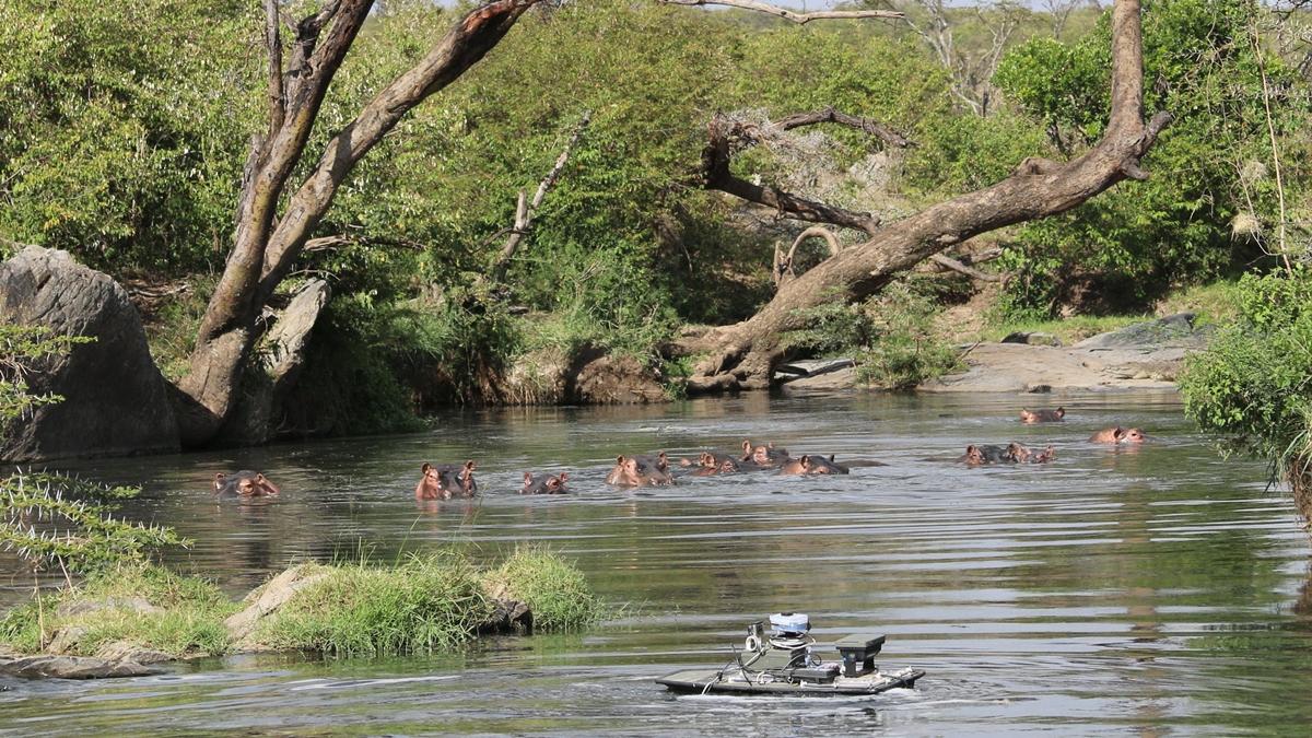Для отбора проб воды использовались роботизированные лодки на дистанционном управлении, поскольку приближаться к гиппопотамам в дикой природе довольно опасно.