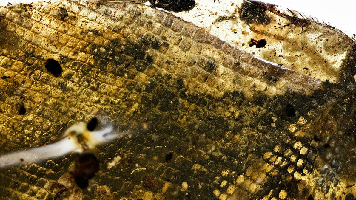 Чешуя в сохранившимся фрагменте змеиной кожи.