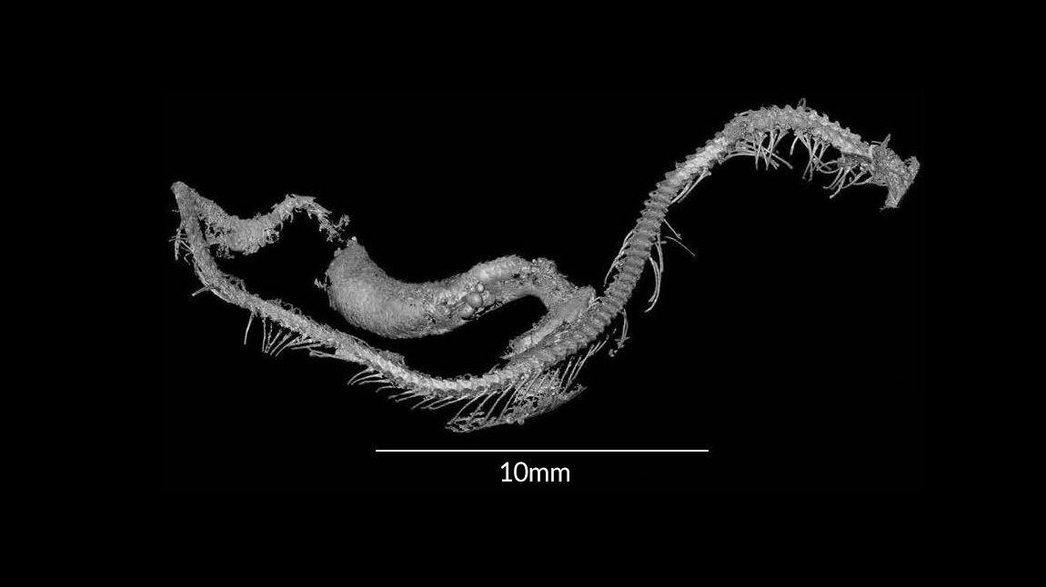 Рентгеновский снимок детёныша змеи.