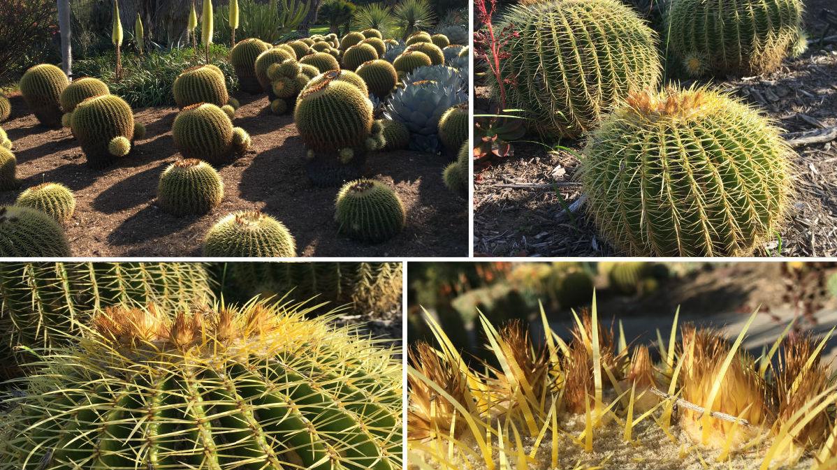 Находящийся под угрозой исчезновения кактус вида Echinocactus grusonii является эндемиком Центральной Мексики. Его колючки столь же крепкие, как дерево или бамбук.