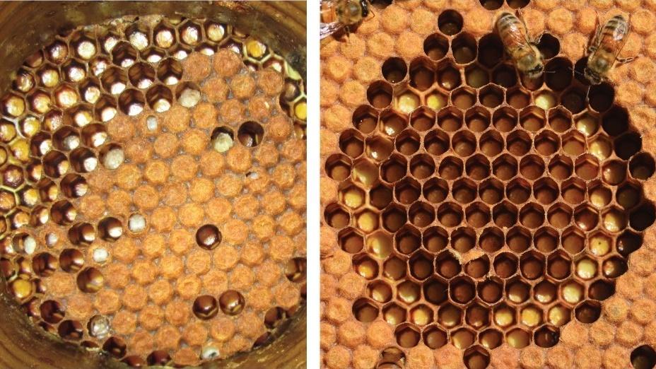 Исследователи сравнили геномы пчёл из негигиеничных колоний (слева) и более чистоплотных (справа).