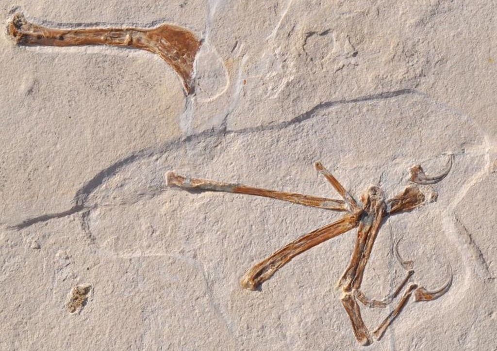 Окаменелое крыло динозавра вида Alcmonavis poeschli.