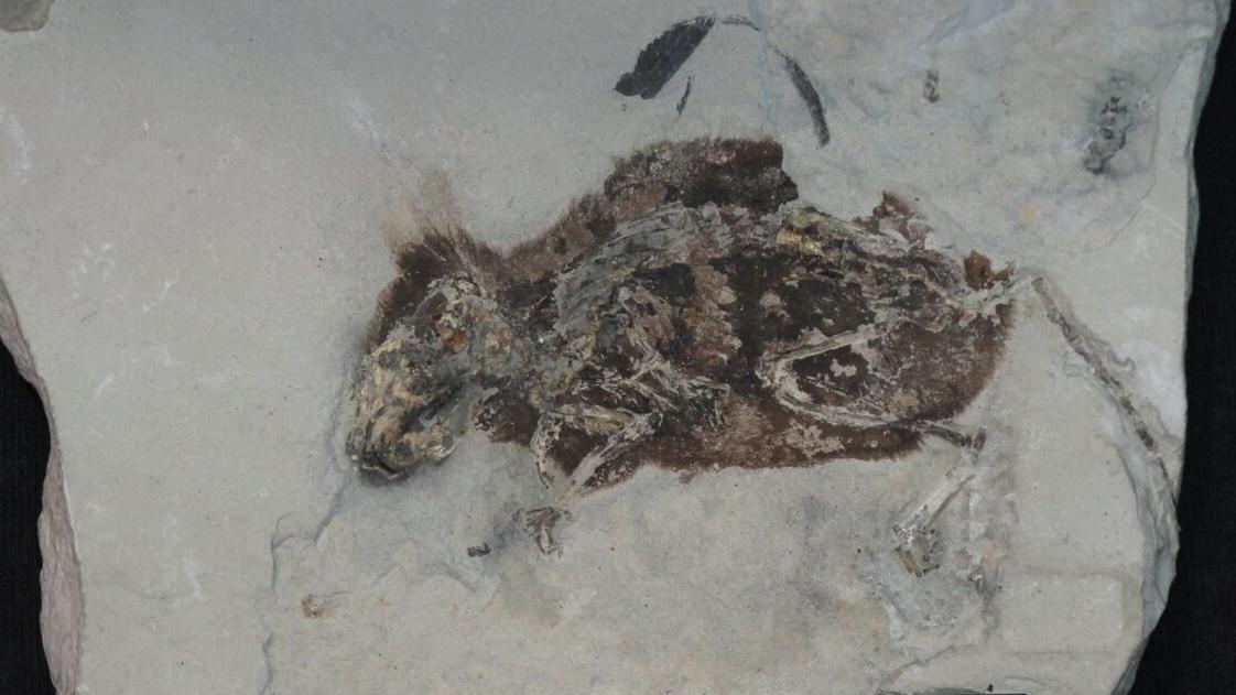 Окаменелые останки мыши вымершего вида Apodemus atavus.