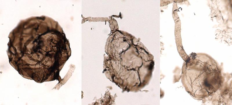 Органическая стенка ископаемого микроскопического многоклеточного гриба вида Ourasphaira giraldae.