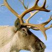 Тысячи оленей на Ямале оказались под угрозой голодной смерти