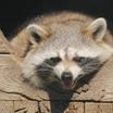 Содержание диких животных в квартирах намерены ограничить