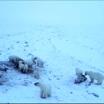Жители чукотского села попали в окружение белых медведей