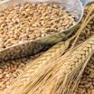 Экспорт пшеницы из России резко ускорился в июне. Хватит ли зерна самим?