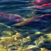 Горбуша исчезла из рек Сахалина. Как вернуть деньги за некачественный отдых. В Карелии из-за засухи люди остались без воды