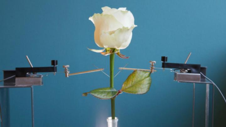 Листья и стебли розы пронизаны проводящими полимерами.